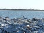 Die Ansteuerung nach Kuressaare führt durch einen spannenden Kanal. Auf beiden finden sich Baggergutinseln mit brütenden Möwen...