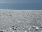 Schweinswale im Fjord.